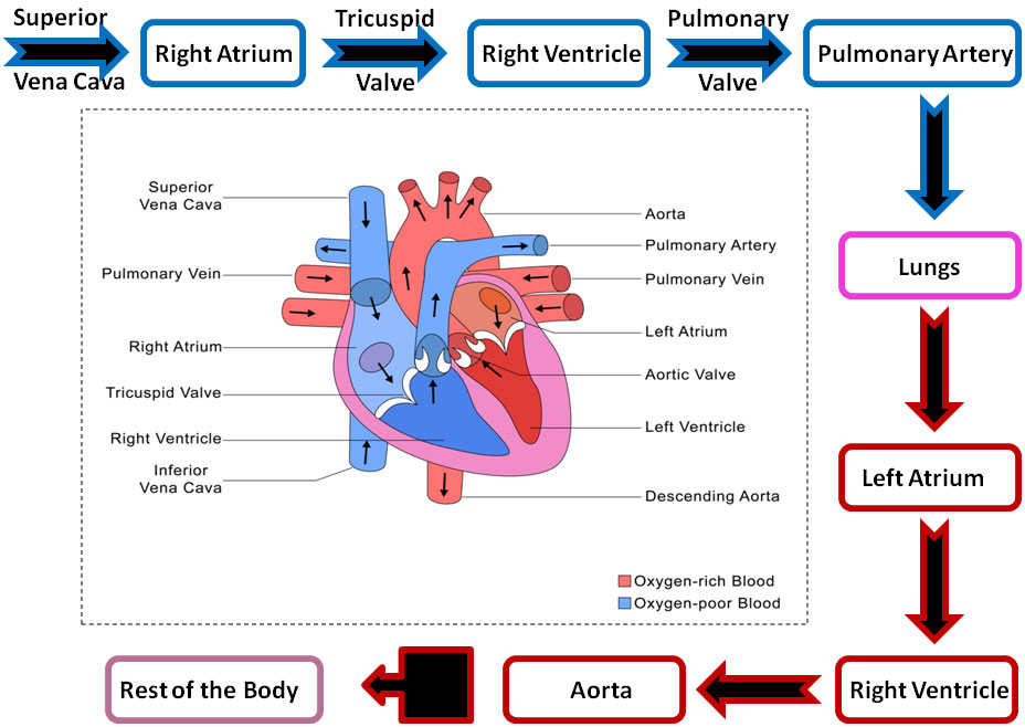 Cardiovascular System Flow Diagram Block And Schematic Diagrams